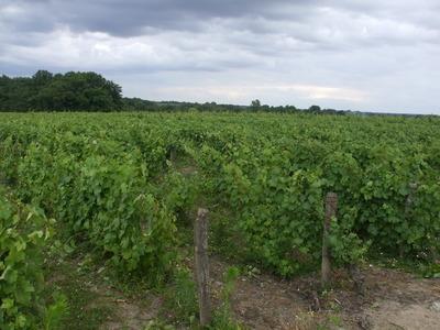 Les vignes